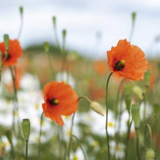 Three Poppies Photograph