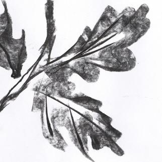 Drawing of oak leaves made with handmade oak charcoal from the Rahoy Hills reserve, Argyll